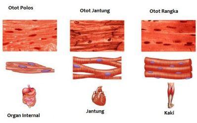 Pengertian dan Macam-macam Jenis Otot Beserta Fungsinya Dilengkapi Mekanisme Kerja (Kontraksi) Otot