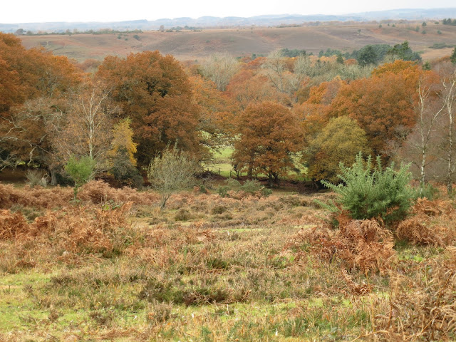 Long view of bracken-land, gorse and trees in the New Forest, Hampshire. November.