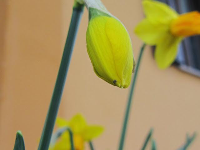 Bocciolo Narciso