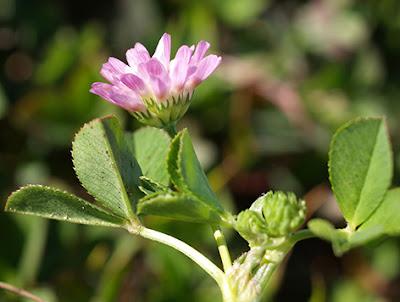 Flor rosa de Trifolium fragiferium