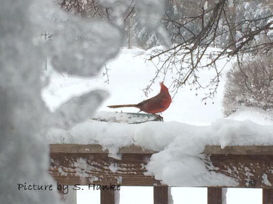Redbird in the snow Nebraska picture by S. Hanke   wandasknottythoughts