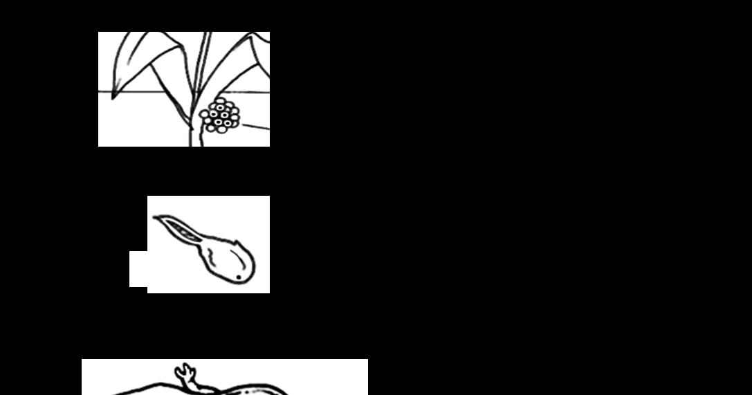 MAESTRALUCIA: Verifica sul ciclo vitale della rana