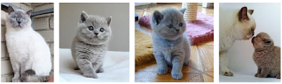 How to Understand the British Shorthair