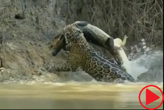 A huge male jaguar pulling a caiman out of the water up a slippery, muddy river bank in the northern Pantanal, Brazil