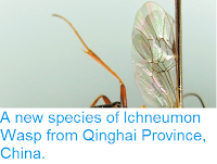 http://sciencythoughts.blogspot.co.uk/2015/02/a-new-species-of-ichneumon-wasp-from.html