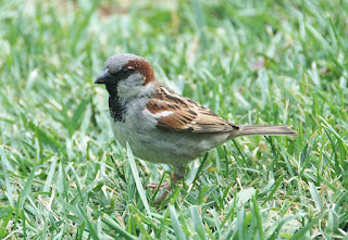 25 Fakta dan Mitos Menarik Tentang Burung Gereja
