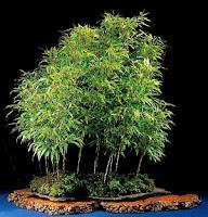 bamboo bonsai care, japanese bamboo bonsai, black bamboo bonsai, bamboo bonsai for sale, lucky bamboo bonsai, nandina bonsai pruning, bonsai bamboo forest, best bamboo for bonsai