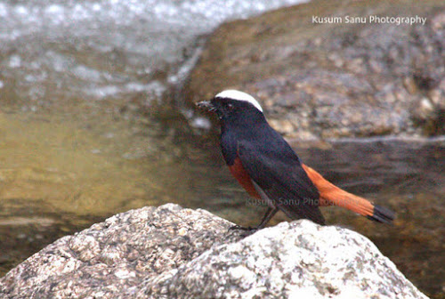 White capped water Redstart at Ryoti Camp Himachal Pradesh