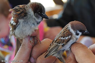 Pardal comú (esquerra) i pardal xarrec (dreta)