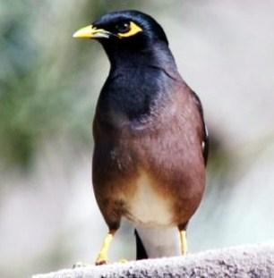 4 Ciri Ciri Paling Akurat Burung Jalak Nias Jantan Dan Betina Di Lihat Dari Segi Fisik Kicau Mania