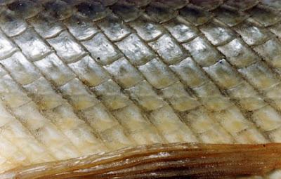 Sistem Integumen Pada Pisces/Ikan