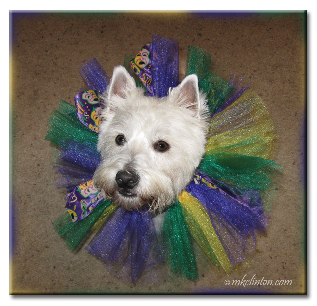 Pierre the Westie with Mardi Gras tulle collar.