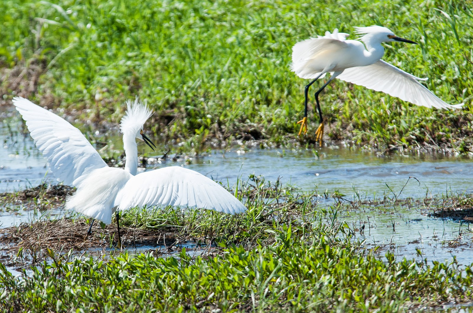 Snowy Egrets, Hagerman Wildlife Refuge