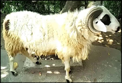 Idul Adha identik dengan penyembelihan binatang kurban Tips Memilih Hewan Untuk Kurban