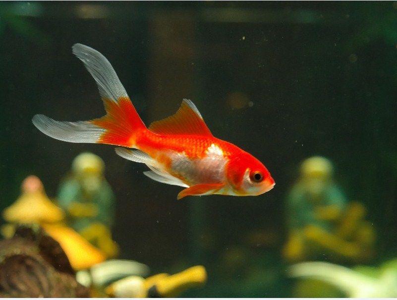 Jenis Ikan Hias Kecil
