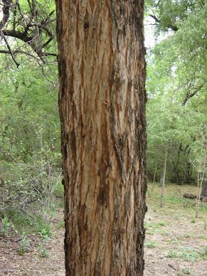 Jodina rhombifolia tronco