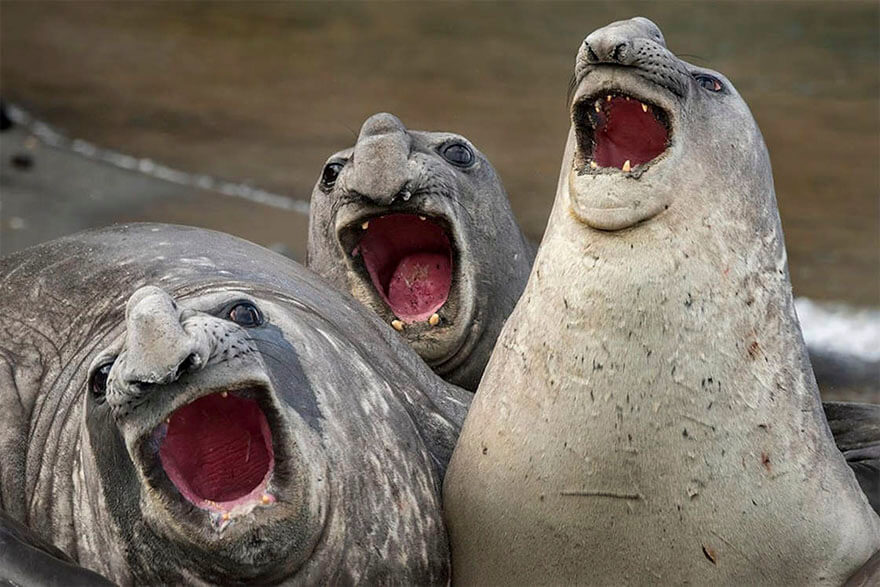 14 Entries To The 2017 Comedy Wildlife Photography Awards That Will Make You Laugh Your Heart Out - Three Tanors, South Georgia Island By Roie Galitz