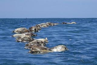 300 Kura-Kura Terancam Punah Ditemukan Mati di Lepas Pantai Meksiko