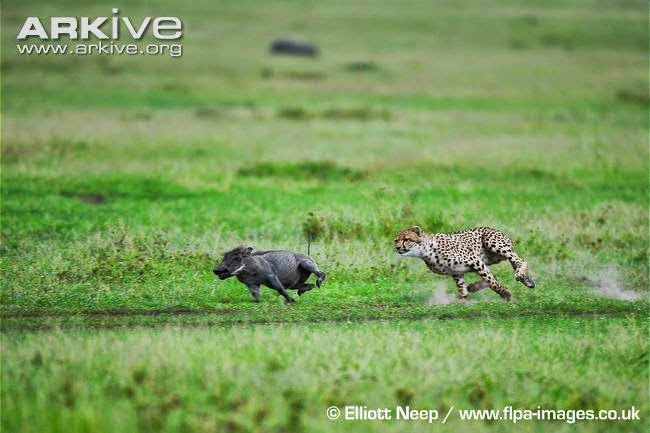 Cheetah and Warthog