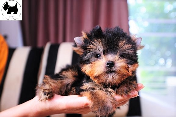 Cutest Dog Breeds, Best Dog, Yorkshire Terrier Dog puppies