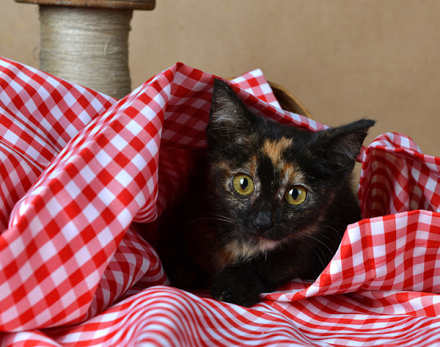 Beautiful tortie kitten under a red gingham cloth