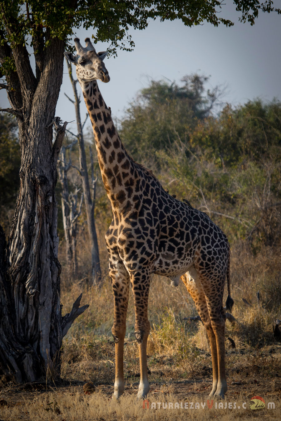 Jirafa en South Luangwa, Zambia