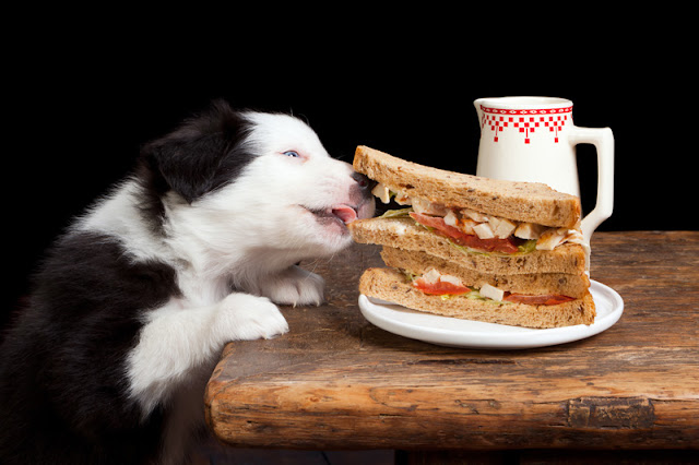 A border collie puppy takes chicken from a sandwich on a table