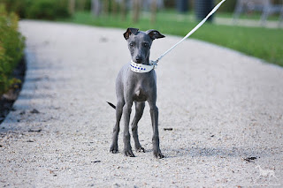 Italian Greyhound Sighthound for sale