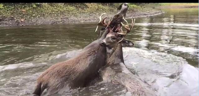 Tangled deer saved from drowning thanks to heart-wrenching rescue