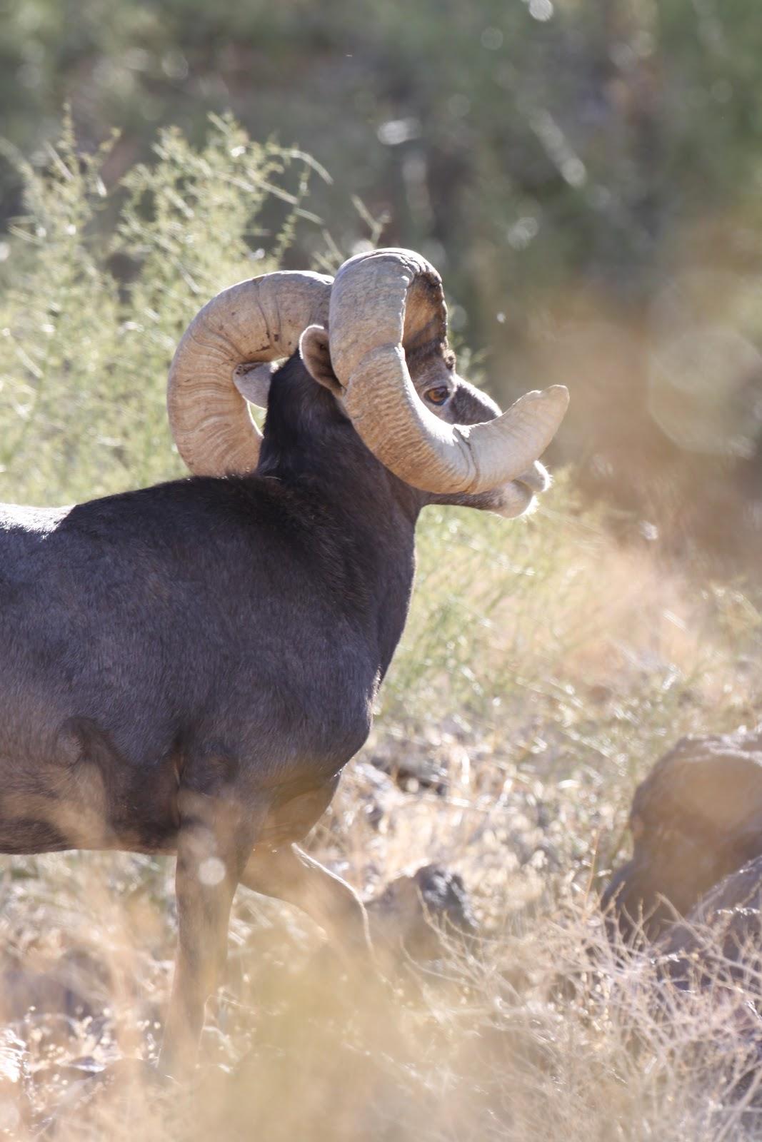 Ram Big Horn >> Jay Scott Outdoors: How to Field Judge Desert Bighorn ...