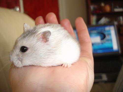white dwarf hamsters with red eyes - photo #26