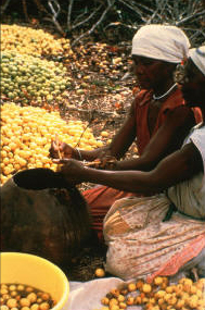 Marula is a much loved fruit in the grasslands of Africa