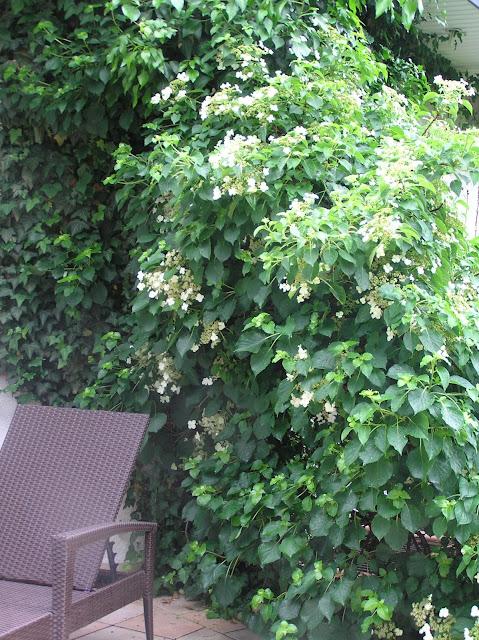 pnącza w ogrodzie