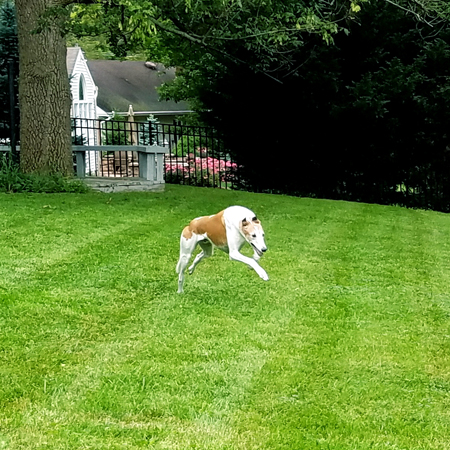 image of Dudley the Greyhound racing around the backyard