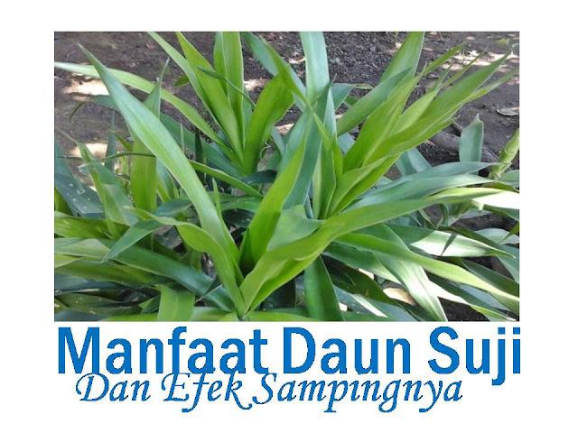 manfaat daun suji dan efek sampingnya