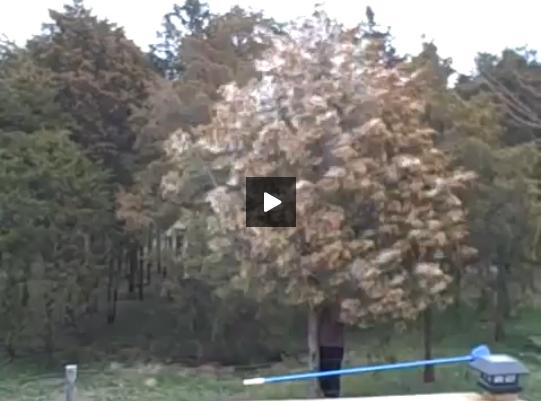 Πόση γύρη μπορεί να έχει ένα δέντρο; video