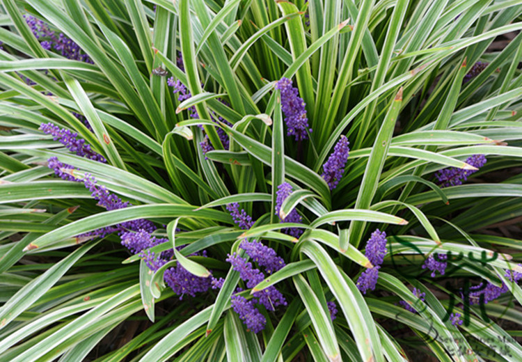 Liriope Evergreen Giant Plant Care Golfclub