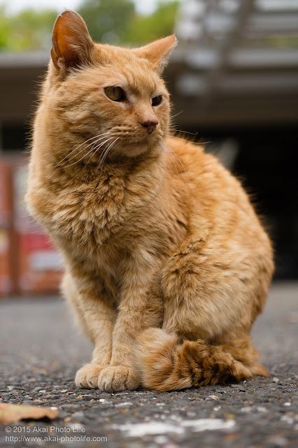 モコモコの茶トラの猫をローアングルから撮ってみた