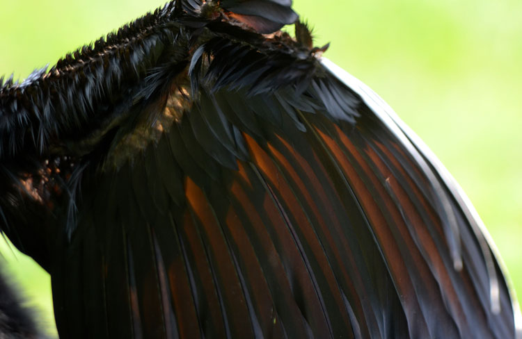 Closeup of the interior of an Anhinga's wing...the sun is shining through feathers.