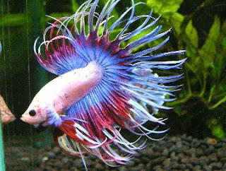 Seperti yang kita ketahui bahwa ikan cupang merupakan ikan air tawar Cara Budidaya Ikan Cupang Hias