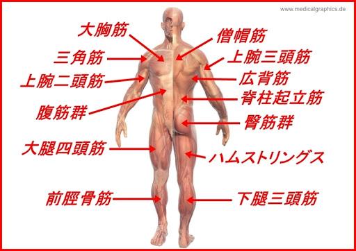 筋肉部位名称スマホ完全図鑑胸背中腕腹下半身