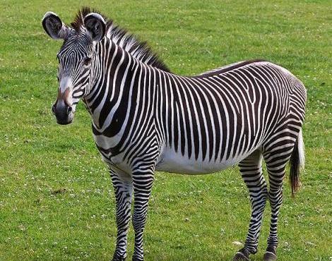 zebra animals equid zoo equus quagga unique classification species habitat natural evolution grevyi wildlife animal zebras imagenes grevys