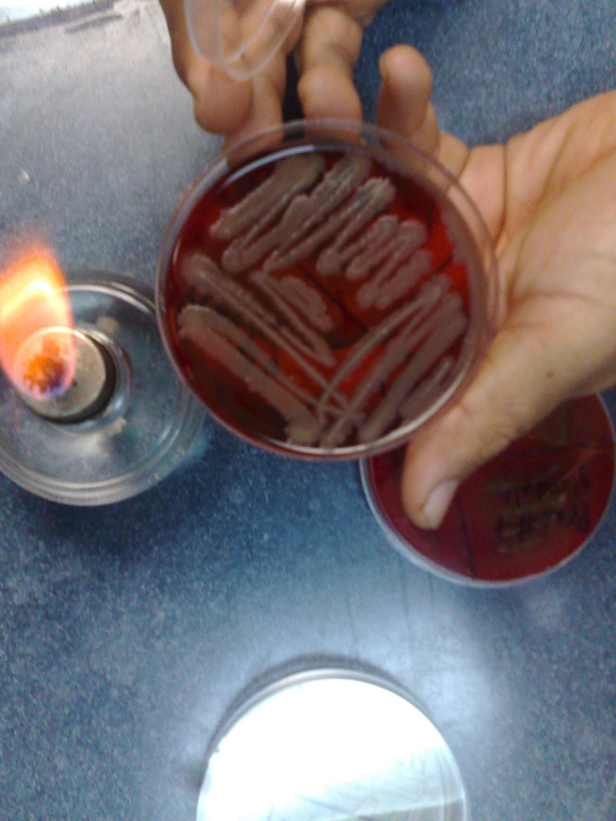 Laboratorio de Microbiologia Aislamiento de Bacterias