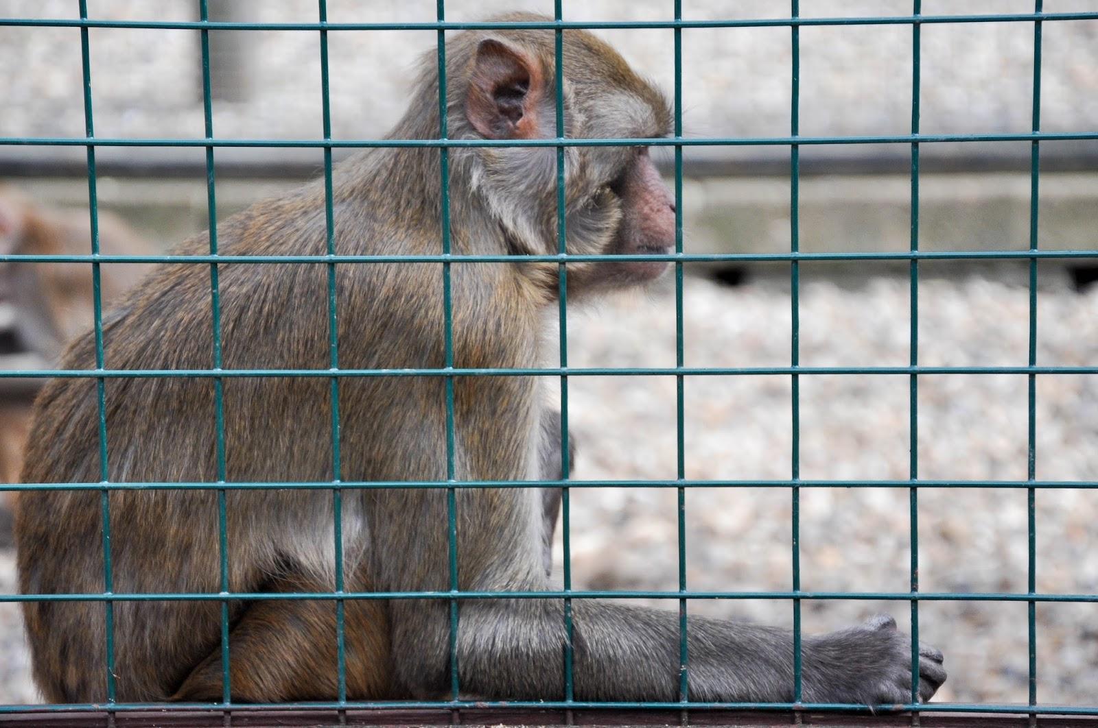 Monkey, Monkey Haven, Isle of Wight, UK