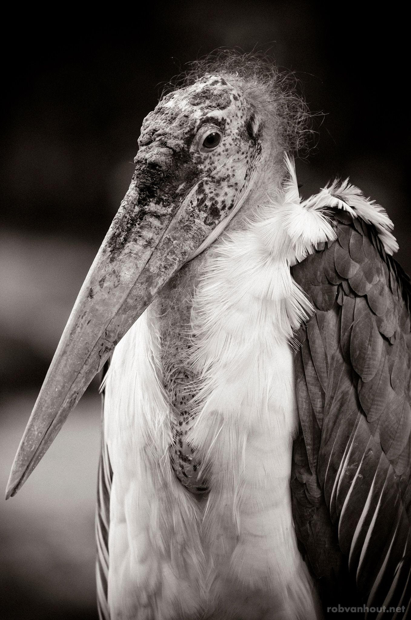 Marabou Stork — Emmen Zoo