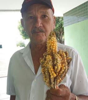 Agricultor do interior da PB fica surpreso ao colher 20 espigas de milho em uma só; veja vídeo
