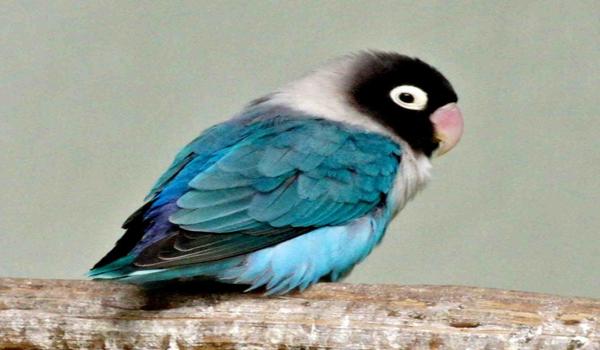 mengatasi lovebird gemuk