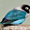 Cara Mengatasi Burung Lovebird Kegemukan Atau Obesitas