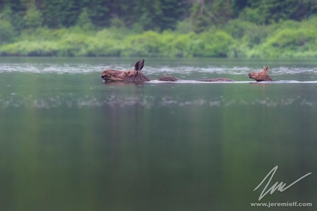 photographie, jeremie leblond-fontaine, kayak, parc national de la mauricie, faune sauvage, oiseaux, animaux, quebec, canada, huards, orignaux, urubus à tête rouge