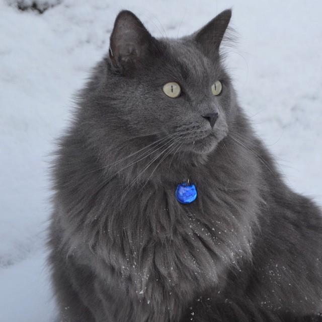 splendide chat gris plein de charme